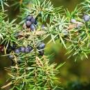 Photo genevrier bourgeon, juniperus communis