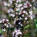Photo thym, thymus vulgaris, sommité fleurie