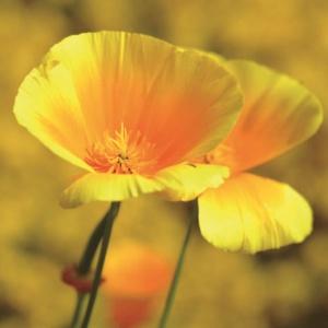 Photo Eschscholtzia, Eschscholtzia californica, partie aérienne