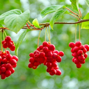 SCHISANDRA Fruit